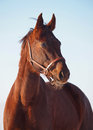 Portrait of horse of the ukrainian sport breed chestnut on a background blue sky Royalty Free Stock Photography