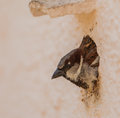 Portrait of a House-sparrow Stock Photo