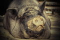 Portrait of huge pig dirty laying on ground at the farm Royalty Free Stock Photography
