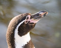 Portrait of humboldt penguin head spheniscus humboldti Stock Images