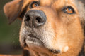 Portrait of a hunting dog- focus on the nose Royalty Free Stock Photo