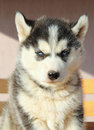 Portrait of husky puppy close up Royalty Free Stock Photography