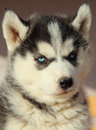 Portrait of husky puppy close up Royalty Free Stock Photos