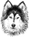 Portrait of husky vector image a head a siberian Royalty Free Stock Photos