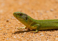Portrait of an Iberian Emerald Lizard Royalty Free Stock Photos