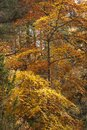 Scottish Autumn Foliage Royalty Free Stock Photo