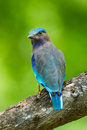 Portrait of indian roller coracias benghalensis turn to look at us in nature thailand Stock Image