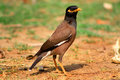 Portrait of a intelligent bird Gracula Religiosa (Hill Myna) Royalty Free Stock Photo