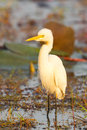 The portrait of intermediate egret mesophoyx intermedia with morning light Royalty Free Stock Images