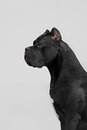 The portrait of Italian cane-corso dog