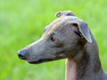 The portrait of italian greyhound detail dog Stock Image