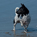 Portrait of jack russel terrier in the water on summer Royalty Free Stock Images