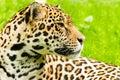 Portrait of a Jaguar. Panthera onca. Royalty Free Stock Photo