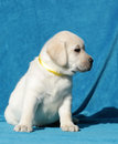 Portrait jaune de chiot de labrador Photo libre de droits