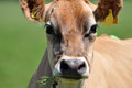 Portrait of Jersey cow Royalty Free Stock Photo