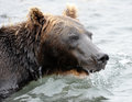 Portrait of kamchatka brown bear in aqueous interior hunting for salmon the river Stock Photo