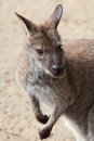 Portrait of a kangaroo closeup Stock Photo
