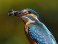 Portrait of kingfisher common with fish ukraine Stock Photo