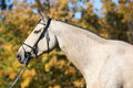 Portrait of kinsky horse with bridle in autumn nice palomino Royalty Free Stock Image