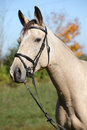 Portrait of kinsky horse with bridle in autumn nice palomino Stock Photography