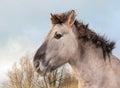 Portrait of a Konik horse Royalty Free Stock Photo