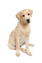 Curious labrador retriever puppy Royalty Free Stock Photo