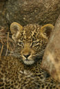 Portrait of Leopard cub Stock Photos