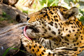 Portrait of Leopard/Jaguar licking his paw Stock Photos