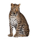 Portrait of leopard, Panthera pardus, sitting Royalty Free Stock Images
