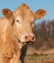 Portrait of a light brown cow Royalty Free Stock Photo