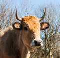 Portrait of a light brown cow with horns and droplets on its nos close up the face horned against the natural background blue sky Stock Image