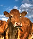 Portrait of a Limousin Cow Royalty Free Stock Photo