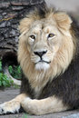 Portrait of a Lion Royalty Free Stock Photo