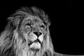 Portrait of Lion in black and white Royalty Free Stock Photo