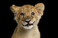 Portrait of Lion Cub Royalty Free Stock Photo