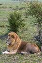 Portrait of a lion on the grass. Masai Mara, Kenya Royalty Free Stock Photo