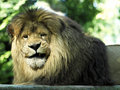 Portrait lion lying Stock Photo