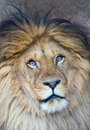 Portrait of a lion panthera leo Stock Photo