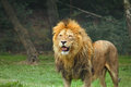 Portrait lion standing grass zoo Stock Photo