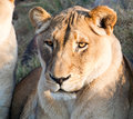 Portrait of Lioness Stock Photography
