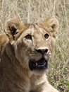 Portrait of lioness beautiful in serengeti national park in tanzania Stock Images