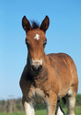 Portrait of a little foal of draught breed Royalty Free Stock Photo