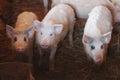 Portrait of a little funny piglet on a farm little piglet Royalty Free Stock Photos