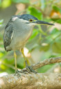 Portrait of little heron the butorides striata in nature Royalty Free Stock Image