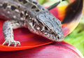 Portrait of lizards Royalty Free Stock Photography