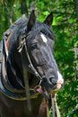 Portrait of a logging horse Royalty Free Stock Photo