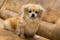 Portrait long haired chihuahua closeup Stock Photography
