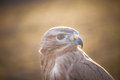 Portrait of Long-legged buzzard Royalty Free Stock Photo