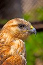 Portrait of the long legged buzzard in yalta zoo Royalty Free Stock Photography