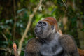 Portrait of lowland gorilla. Republic of the Congo. Royalty Free Stock Photo